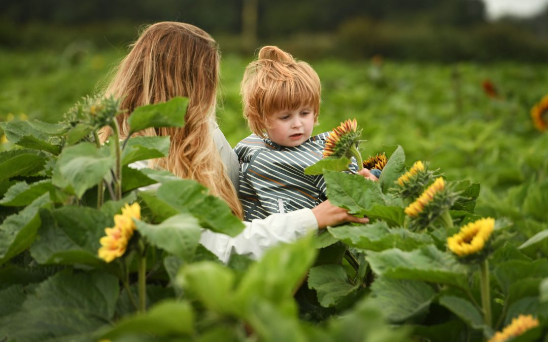 Welcome to our Maize Maze & PYO Sunflowers!