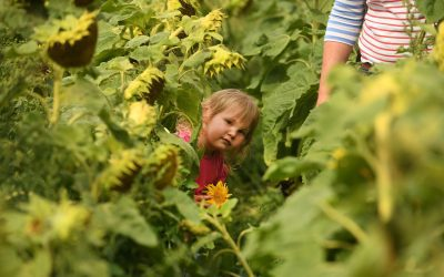 What a fantastic week it's been at our Maize Maze & Picking Patches!